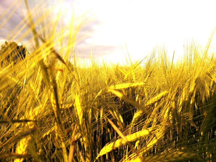 Getreidefeld Morning Sun Golden Hour