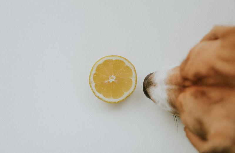 Dogs Beagle Citrus Fruit Dog Food Freshness Fruit Healthy Eating Indoors  SLICE Studio Shot White Background