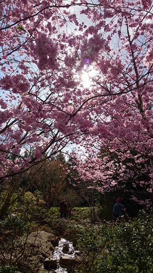 Unterwegs in den Gärten Der Welt Japanischergarten Japanese Garden Springtime Kirschblüten  Cherryblossom PrettyInPink Purist No Edit No Filter