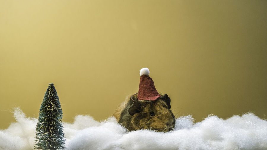 Close-up of rat wearing hat sitting on cotton against wall