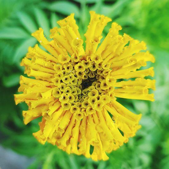 Flower Yellow Petal Plant Nature Freshness Merigold