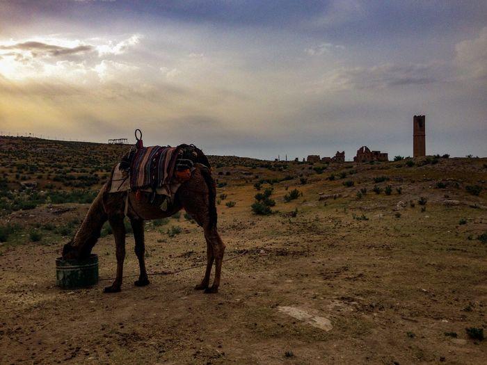 A camel feeding