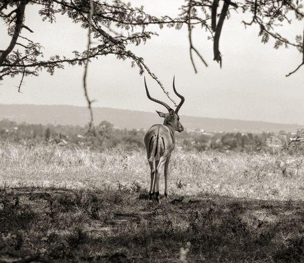 Impala on field at lake nakuru national park