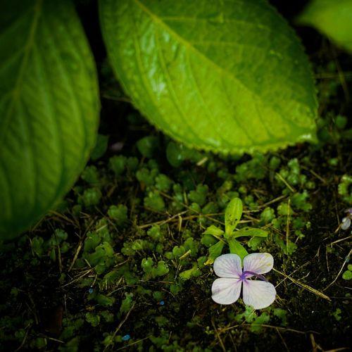 Flower Flowers紫陽花 紫陽花-hydrangea- 紫陽花2015Photo 紫陽花2015 紫陽花Photo 紫陽花Photo2015 Hydrangea