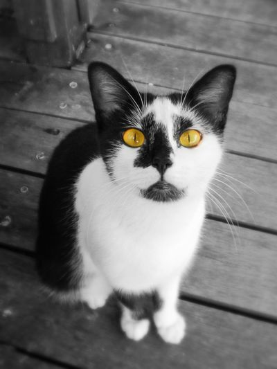 This kitty was looking straight up at me while I was enjoying the riverside view at the Riverine Coffeehouse. It was black and white, like a panda, with huge amber eyes, now colorsplashed. Cats Colorsplash Walking Around Town Don't Be Square