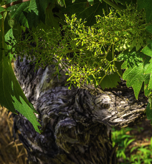 Beauty In Nature Close-up Day Field Focus On Foreground Grapes Green Color Growth Land Leaf Nature No People Outdoors Plant Plant Part Selective Focus Tranquility Tree Tree Trunk Trunk Wine