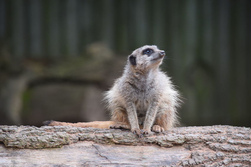 Wildlife Outdoors Animal Meerkat Log Thoughtful Daydreaming Knowsley Safari Park Animals