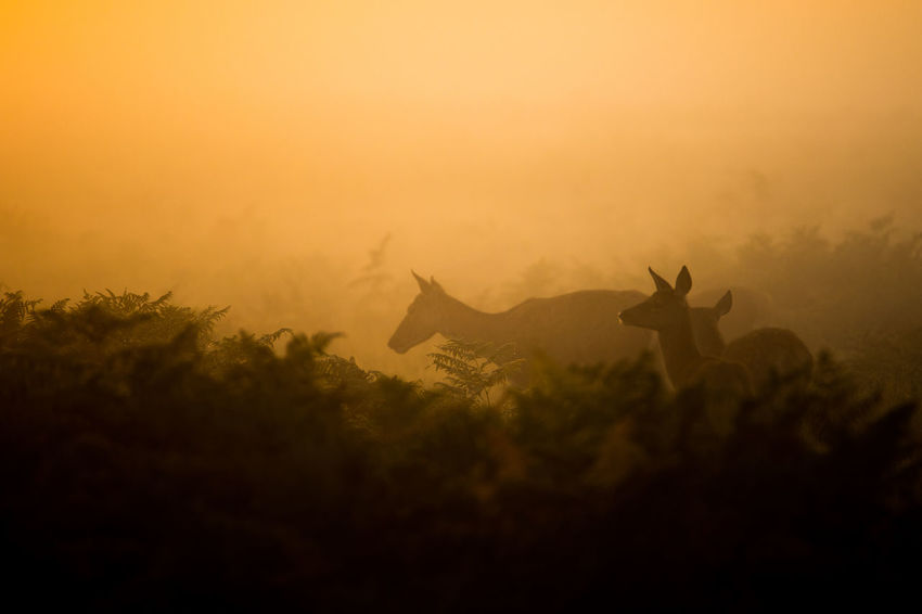 Fallow deer during sunrise in Bushy Park, London during sunrise with wicked mist Beauty In Nature Bushy Park Countryside Dark Deer Deers Fallow Deer Fog Foggy Majestic Mountain Nature No People Non-urban Scene Outdoors Outline Plant Remote Scenics Silhouette Sky Solitude Sunset Tranquil Scene Tranquility