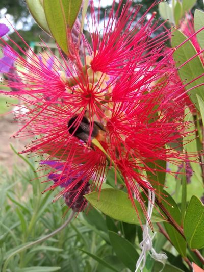 Beehappy Beehave Bottlebrush Flower Red Nature