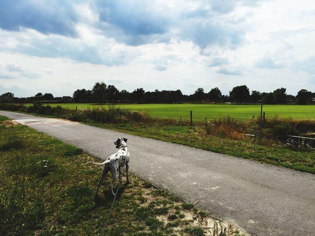 Walking the dog. Dalmatian Dog Pixel Relaxing
