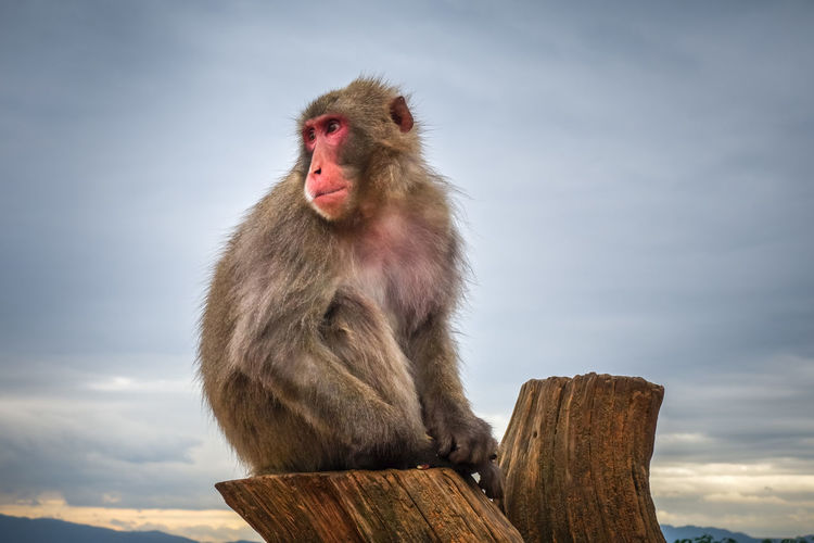 Japanese macaque on a trunk in Iwatayama monkey park, Kyoto, Japan Iwatayama Monkey Park Japan Japanese  Animal Wildlife Animals In The Wild Baboon Cloud - Sky Day Iwatayama Kyoto Kyoto,japan Looking Away Macaque Macaque Monkey Mammal Monkey Nature One Animal Portrait Primate Sitting Sky