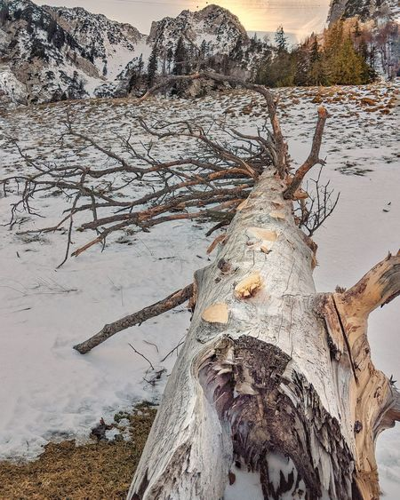 Driftwood on tree trunk during winter