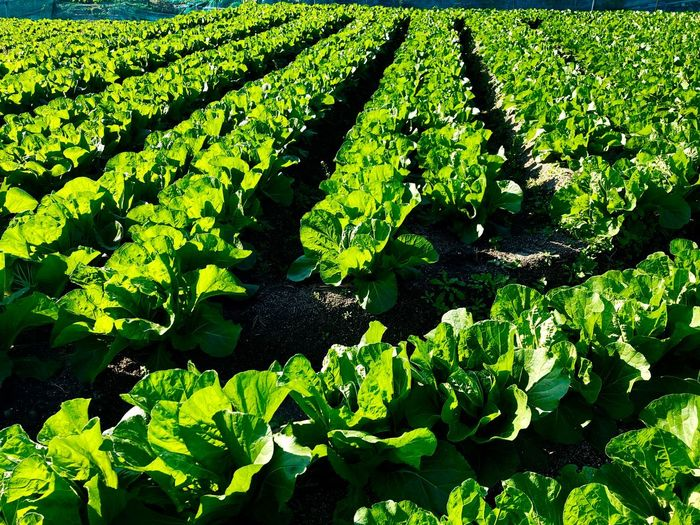 Countless Napa Cabbages Growing in the Fields. (181110-181206) Vegetables Napa Cabbages Growth Green Color Plant Plant Part Beauty In Nature Leaf Nature Land Field Landscape Agriculture Rural Scene Sunlight Tranquility Day Outdoors No People Full Frame Backgrounds High Angle View