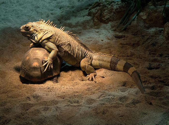 Crocodile on turtle
