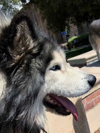 Husky Dog One Animal Domestic Animals Animal Themes Mammal Pets Dog Close-up Day Outdoors No People Portrait Nature