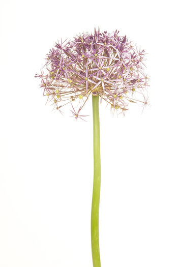 Blooming Allium or Star of Peria isolated on a white background Star Of Persia Allium Flower Ornamental Union Flower Flower Head White Background Flowering Plant Plant Studio Shot Plant Stem Plant