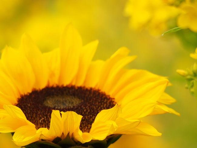 1月なのに菜の花と向日葵咲いてた(´・_・`) Nature_collection EyeEm Nature Lover Flowers Flowerporn Yellow Yellow Flower