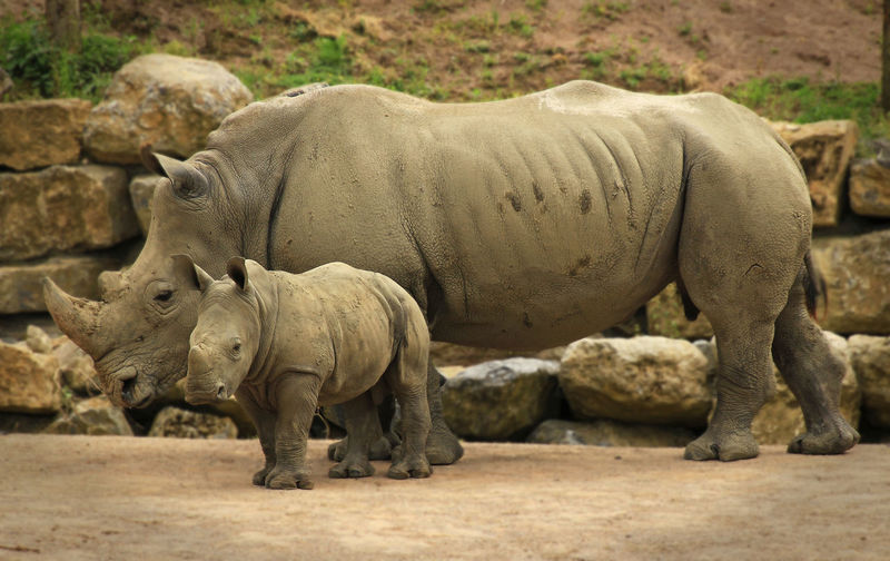 Rhinoceros with young one walking on landscape