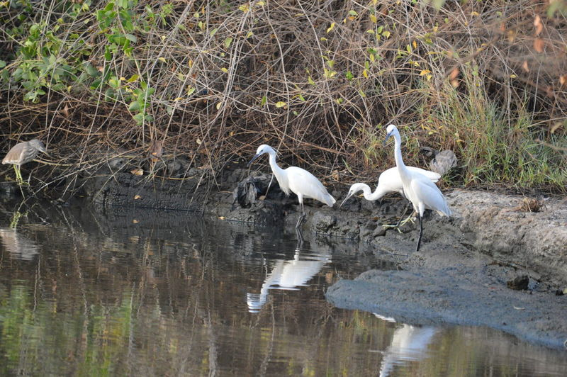 Learning from Seniors! Birds Birdsphotography Birds In The Water Crains Indian Crain Nature Photography