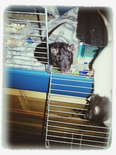 Snorkfröken & Lilla My Rat Two ♡
