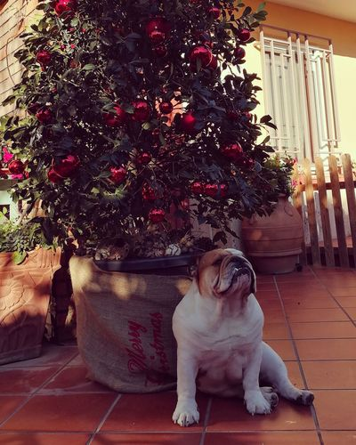 Marry Christmas Cane Italy Bulldog Dog Marry Christmas Christmas Decoration Christmastime Posa Christmas Tree Bulldog Inglés Bulldog Inglese December 25 December Christmas Spirit Animal Red Love Winter Dog Pets One Animal Domestic Animals Animal Themes Animal Indoors  Sitting No People Day Mammal
