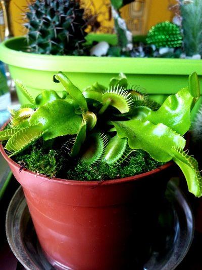 Gladnica 🌱 Flyingtrap Mesozderka Carnivours Plant