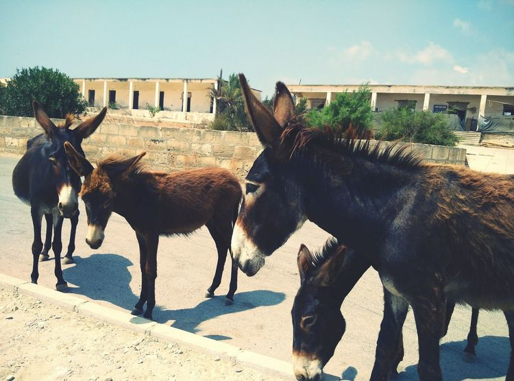 They were so playful I just couldn't ignore them! Cyprus Donkeys Friendly Gung Animals No People Meeting New Friends Finding New Frontiers Miles Away