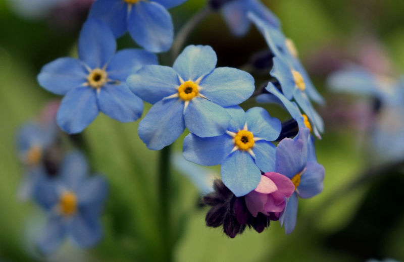 Beauty In Nature Blooming Blue Blue Flowers Close-up Day Flower Flower Head Forget Me Not Fragility Freshness Growth Macro Nature No People Outdoors Petal Plant