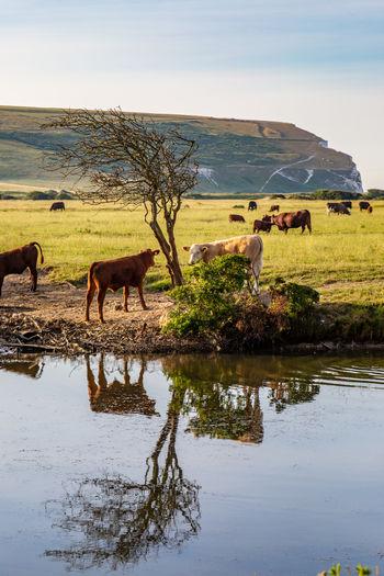 Cattle grazing on grassy field