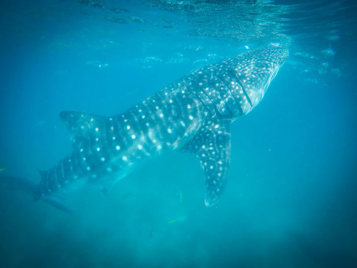 Close-Up Of Whale Shark In Sea Water