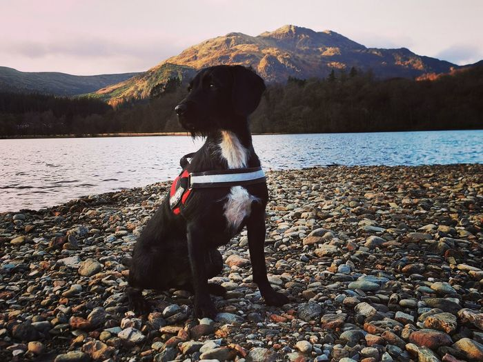 Dog looking away while sitting on pebble stones by lake against sky