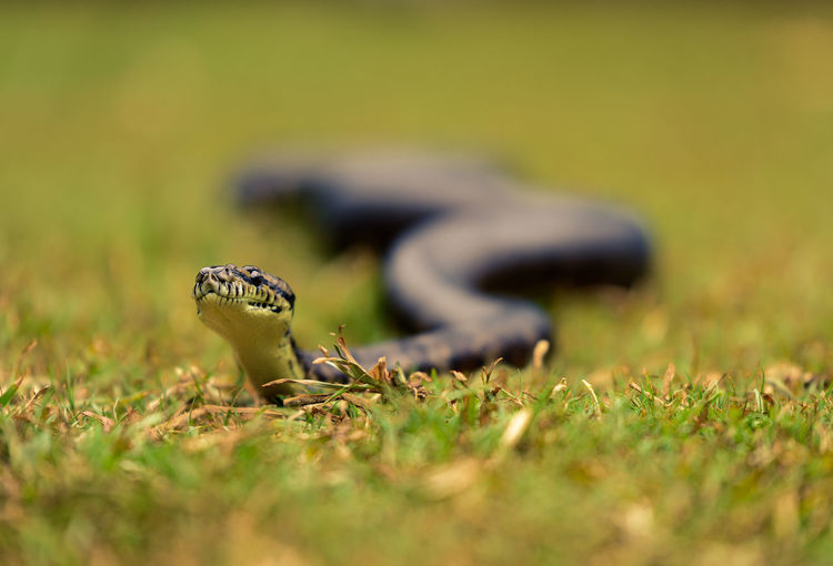 Close-up of a snake on field