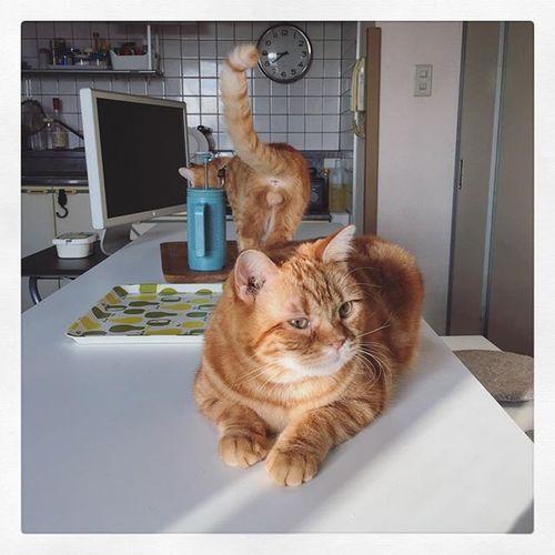 Cat Neko ねこ 猫 ねこ Cats スコティッシュフォールド Scottishfold 茶トラ ロロ Lolo コケティッシュフォールド コケティッシュホールド Piopio Pio ピオ 鈴カステラ 鈴カステーラ ロロとピオの鈴カステーラでおはようございます…😆😸👍