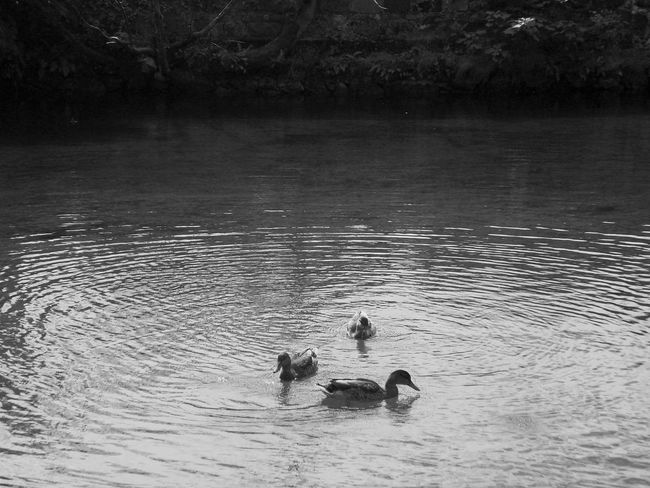 EyeEm Nature Lovers Ducks Eye4nature Lake Lake View Duck Nature_collection Eyeem Water Collection Water From My Point Of View Eye4photograghy Nature Photography Nature Check This Out Naturephotography Nature_ Collection  Eye4photography  Blackandwhite Photography Black And White Collection  Blackandwhitephotography Black And White Black And White Photography Water Animals Animals Ducks In The Lake