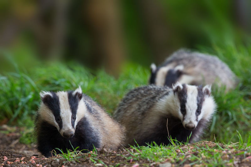 Close-up of badgers on grassy field
