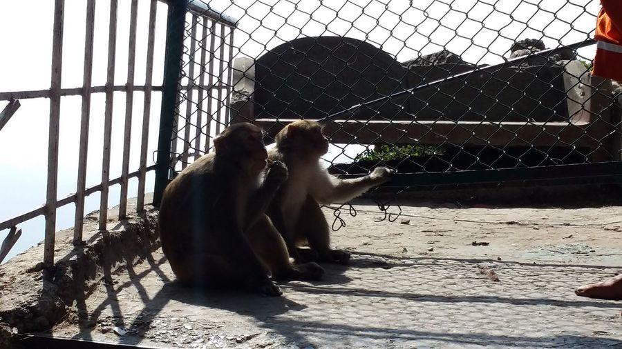 Animal Themes Close-up India Katra Monkey Wildlife & Nature