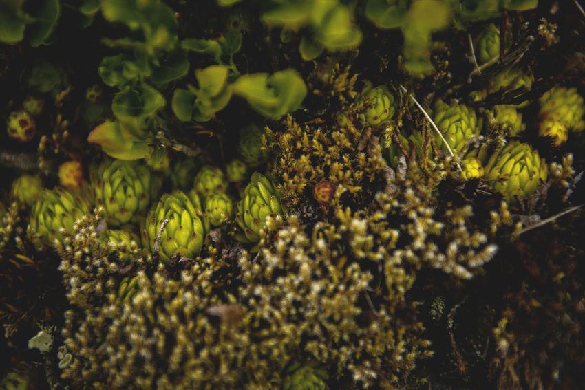 Botanical series: Micrology / Shot with Nikon D800E Alpine Berg-Hauswurz Ctenidium Molluscum Green Growth Jovibarba Micro Plants Thymus Citriodorus Zitronenthymian Zypressenschlafmoos Alps Botanical Chalk Comb-moss Close-up Fragility Lemon Thyme Macro Micrology Mini Mountain House-leek Mountain Plants Peat Moss Selective Focus Sempervivum Montanum