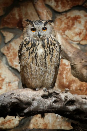 Portrait Of Eagle Owl Perching On Branch At Zoo