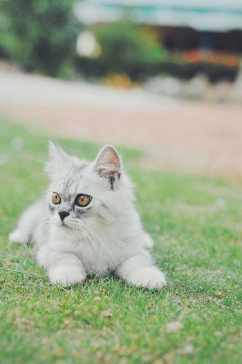 Portrait of cat relaxing on field