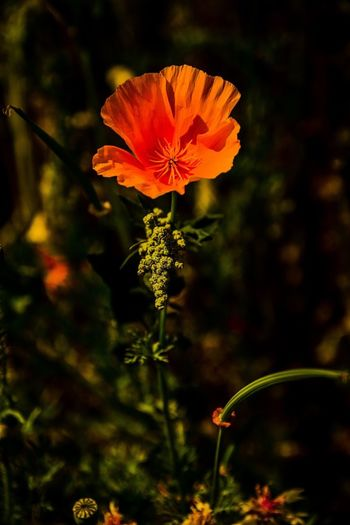 Californian Poppy ... Californian Poppy Poppy Plant Growth Beauty In Nature Focus On Foreground No People Nature Vulnerability  Close-up Flower Orange Color Flowering Plant Plant Part Leaf Freshness Fragility Outdoors Tranquility Day Inflorescence Plant Stem