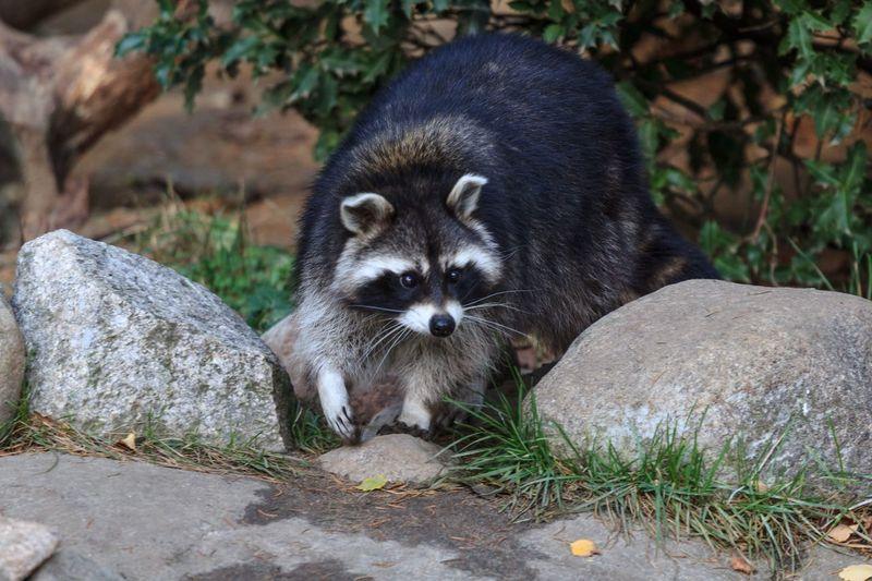 Waschbär Animal Wildlife Animals In The Wild One Animal Nature Raccoon