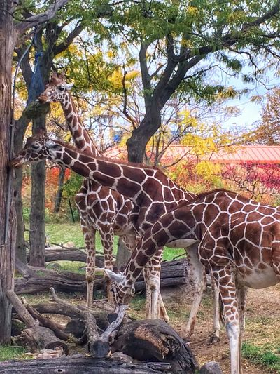 Giraffe Giraffes Giraffe♥ Giraffes! Giraffe ♡ Giraffe.  Giraffeカフェ Indianapolis Zoo Zoo! Zoo Day