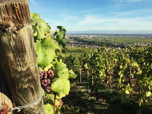 Vignoble Alsacien Plant Sky Growth Nature Beauty In Nature Day No People Scenics - Nature