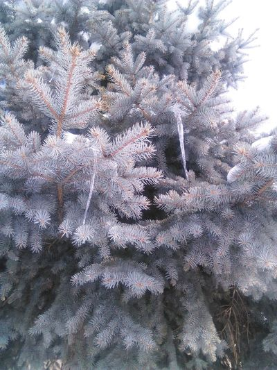 Cold Temperature Frostcicle Frosty Pine Macro Beauty Natural Beauty