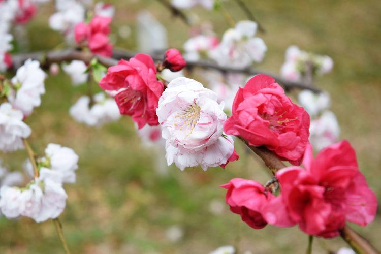 Hana peach