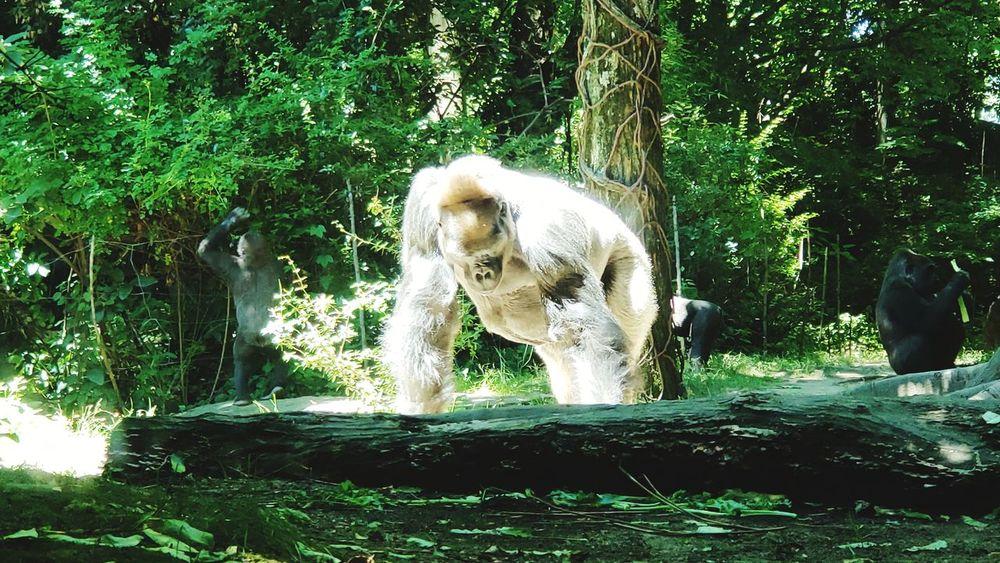 Gorilla Power Primate Plants 🌱 Monkey Animal Trunk Tree Motion Splashing Zoo Animals In Captivity Trunk