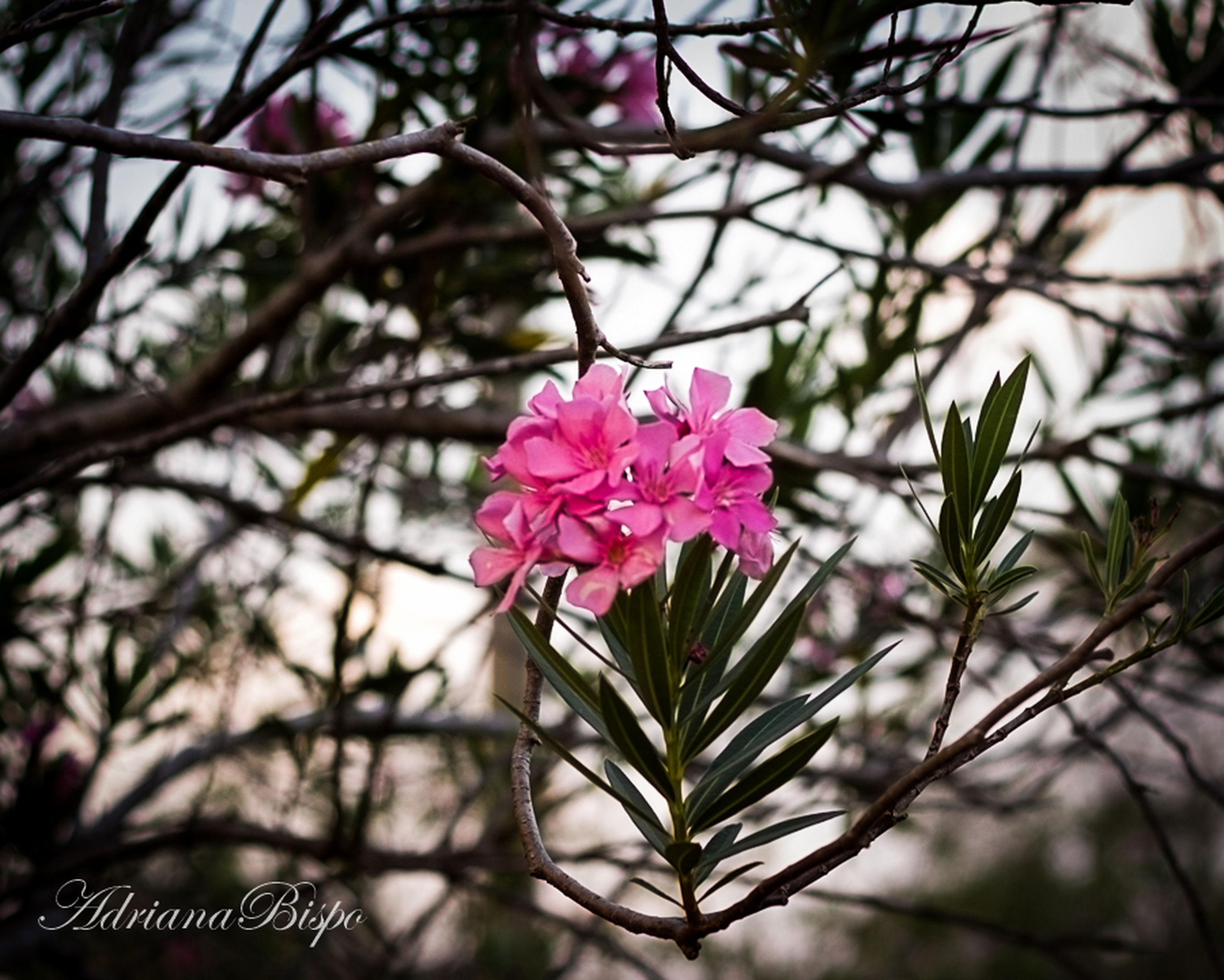 flower, freshness, growth, pink color, fragility, branch, petal, beauty in nature, nature, focus on foreground, blooming, tree, close-up, blossom, flower head, pink, in bloom, leaf, plant, low angle view