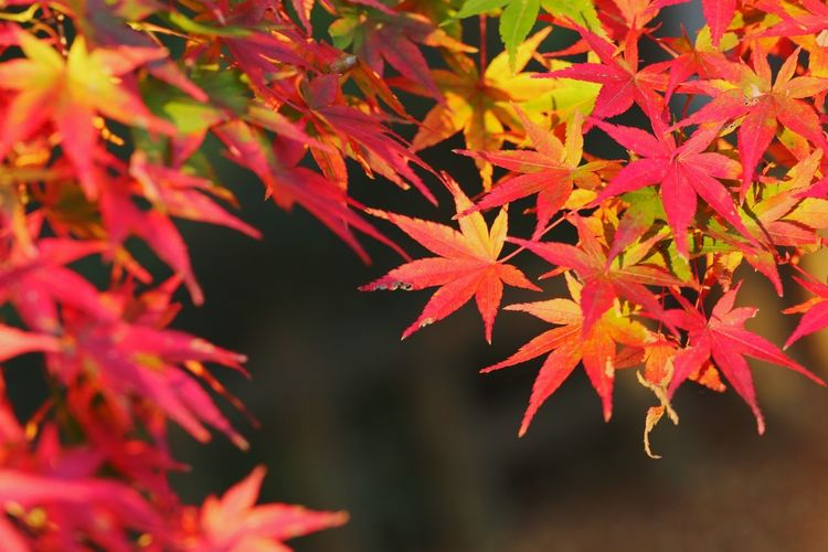 Close-up of maple leaves on tree