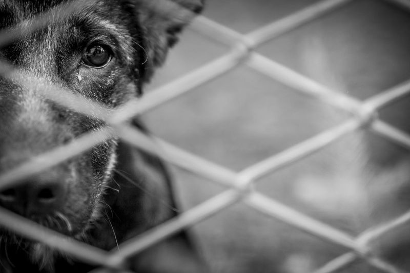 A dog alone and abandoned behind a fence. Abandoned Abused Adopt Alone Animals Black Cage Canine Dog Enclosure Farm Fence Fly Away Freedom Homeless Lost Pets Pound Prison Prisoner Rebel Sad Sadness Shelter Vivisection