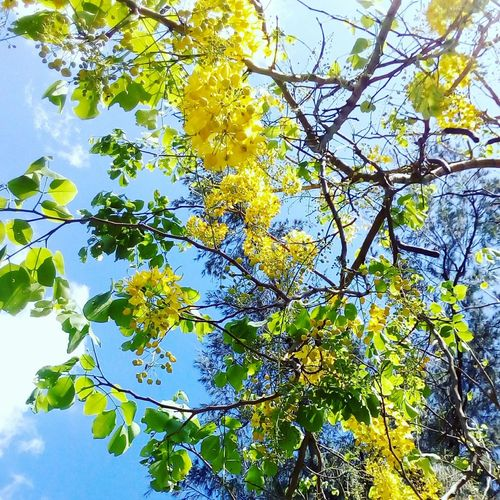 Bright day at UPLB Sunny Day Summertime Nature Floweringtree Yellow Flowers Yellow First Eyeem Photo PhonePhotography
